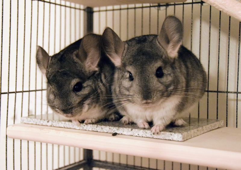 Holly's Chinchillas