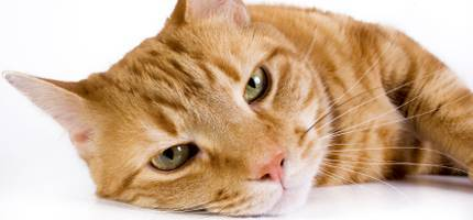 Cat Medications Allergy